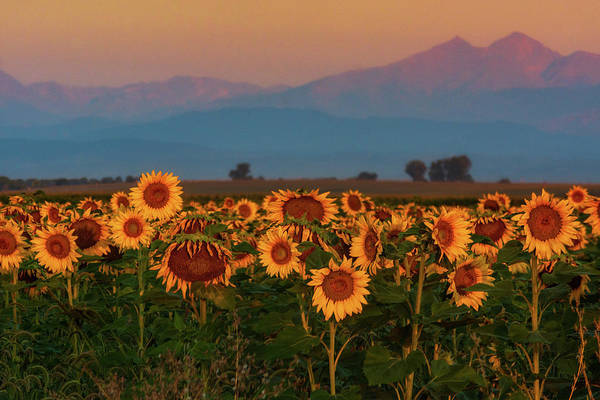 Photograph - Light Of The Sunflowers by John De Bord
