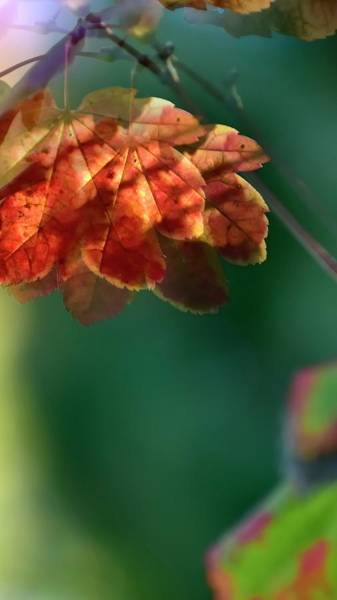 Photograph - Light On Maple by Jerry Sodorff
