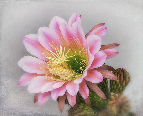 Photograph - Light Pink Delight  by Saija Lehtonen