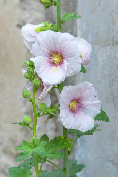 Light Pink Hollyhock Art Print
