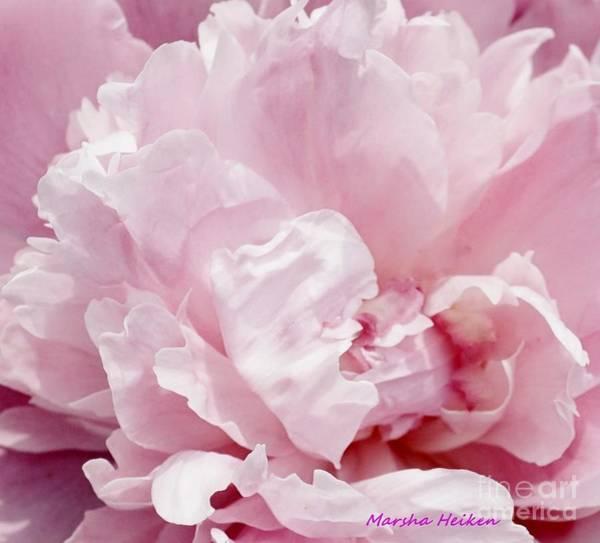 Wall Art - Photograph - Light Pink Macro Peony by Marsha Heiken
