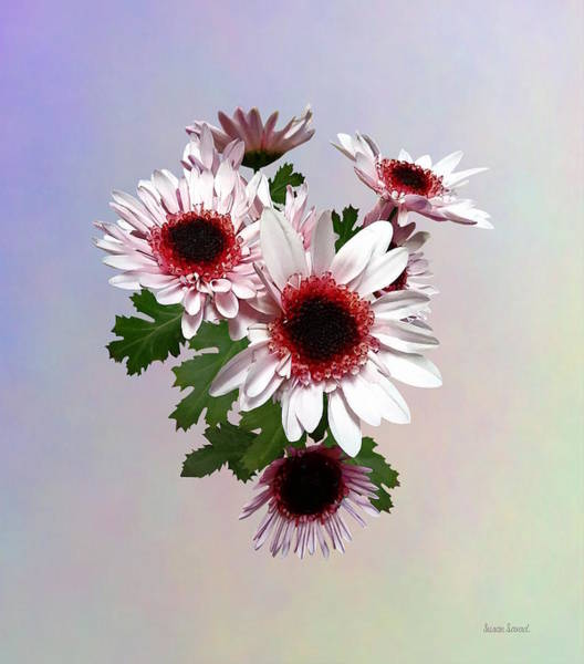 Photograph - Light Pink Mums With Dark Pink Center by Susan Savad
