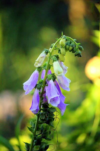Photograph - Light Purple Foxglove by Cynthia Guinn