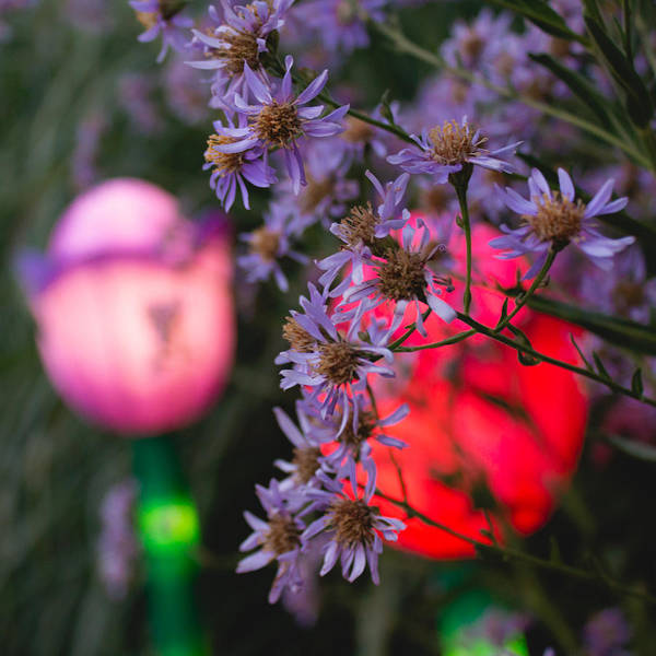 Photograph - Lilac Aster And Light by Christine Buckley