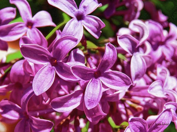 Photograph - Lilac Closeup by Susan Savad