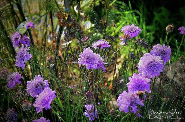 Lilac Jelly Pincushion Art Print