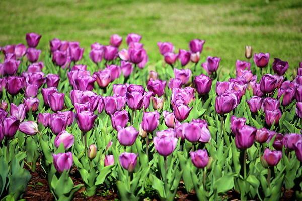Photograph - Lilac Tulips by Cynthia Guinn