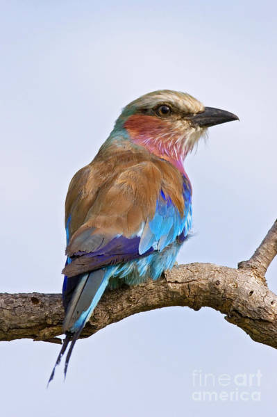 Wall Art - Photograph - Lilacbreasted Roller Coracias Caudata by Johan Swanepoel