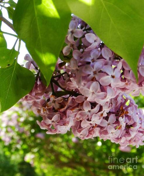 Wall Art - Photograph - Lilacs In Bloom by Snapshot Studio