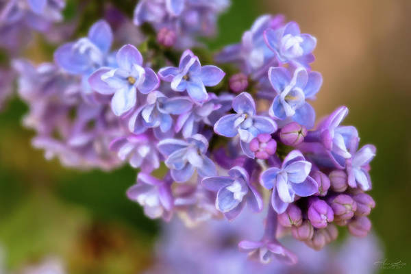 Photograph - Lilacs Painted by Anna Louise