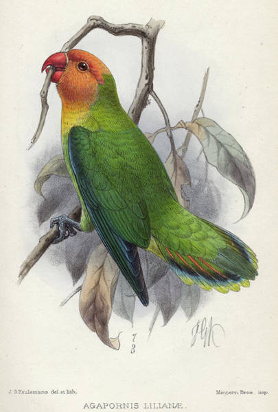 Lovebirds Painting - Lilian's Lovebird by Charles John Andersson