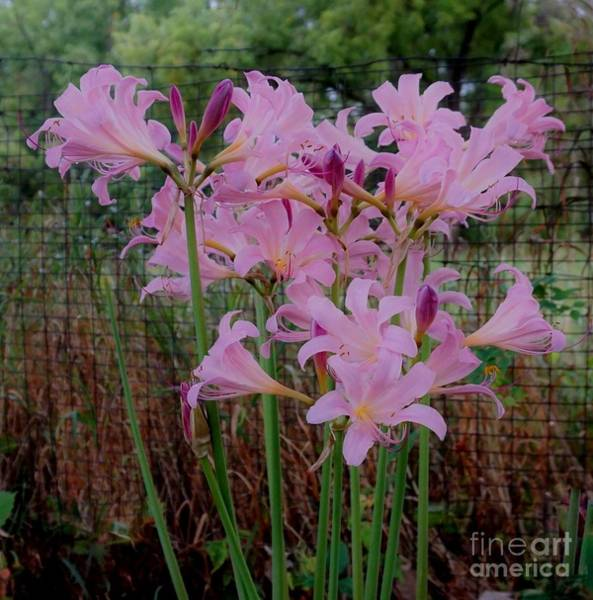 Wall Art - Photograph - Lilies In The Country by Marsha Heiken