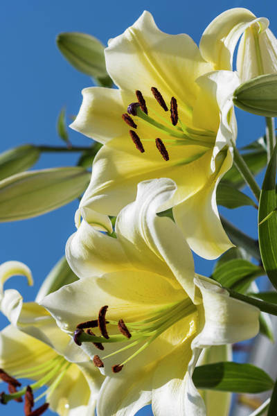 Photograph - Lilies In The Sky by Robert Potts