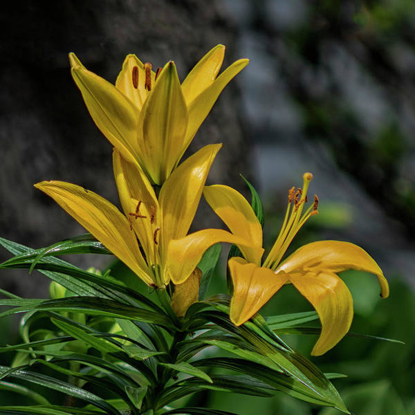 Wall Art - Photograph - Lilies by Denise Harty