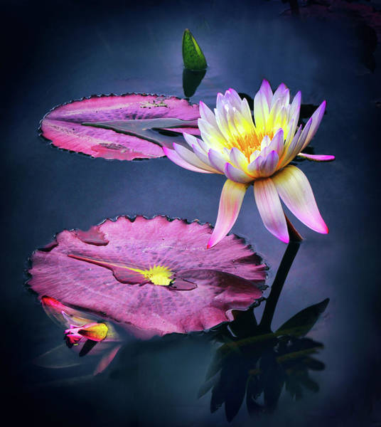 Lotus Pond Photograph - Lily Light by Jessica Jenney