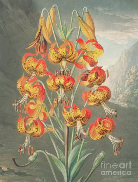 Ward Painting - Lily  Lilium Superbum, By William Ward After Philip Reinagle by William Ward