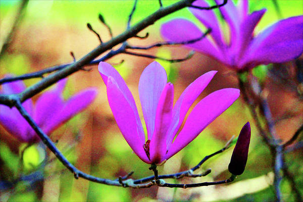 Photograph - Lily Magnolia  by Cynthia Guinn