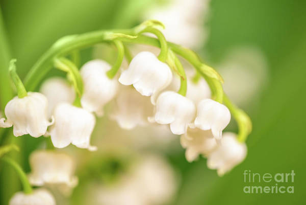 May Day Photograph - Lily Of The Valley by Delphimages Photo Creations