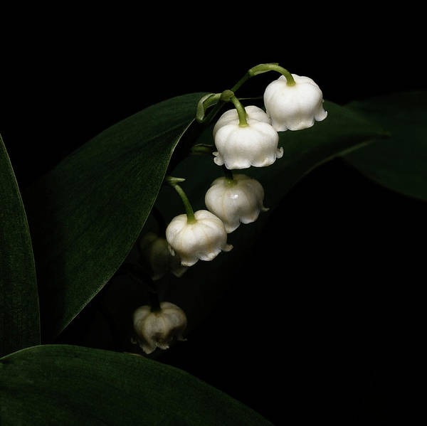 Wall Art - Photograph - Lily Of The Valley by Denise Harty