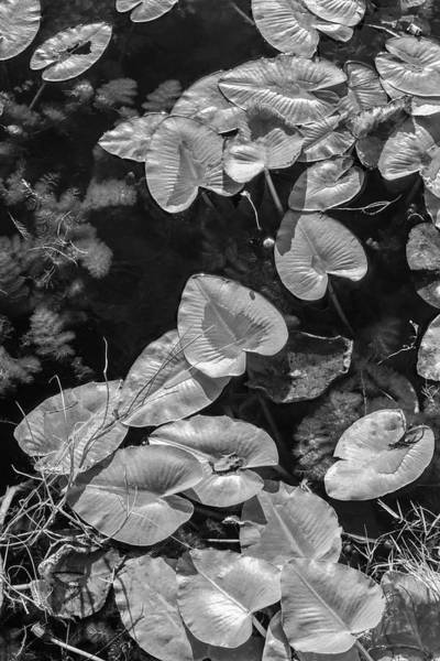 Photograph - Lily Pads In Black And White by Debra and Dave Vanderlaan