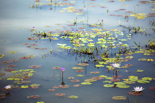 Photograph - Lily Pads by Nicole Young