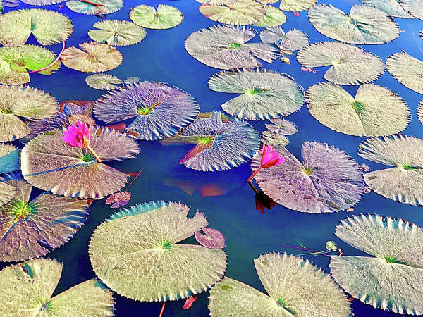Wall Art - Photograph - Lily Pads Vietnam Style by Madeline Ellis
