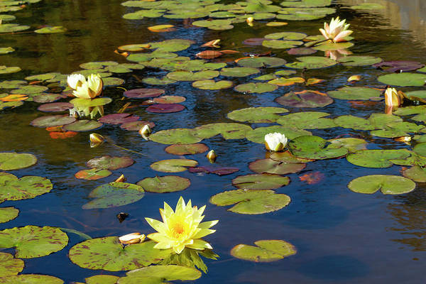 Photograph - Lily Pond In Afternoon by Bonnie Follett