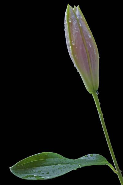 Photograph - Lily Stargazer Petal by Susan Candelario