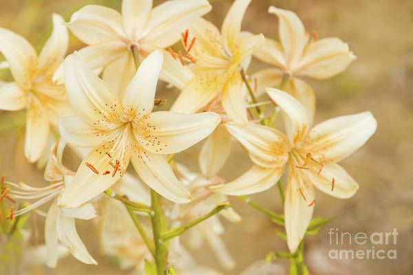 Photograph - Lilycrest Dainties by Marilyn Cornwell