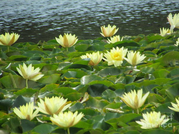 Photograph - Lilys by Joyce Woodhouse