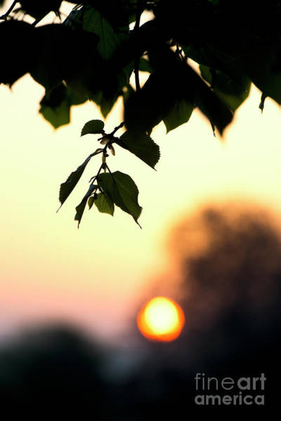 Wall Art - Photograph - Lime Tree Leaves At Sunrise by Tim Gainey