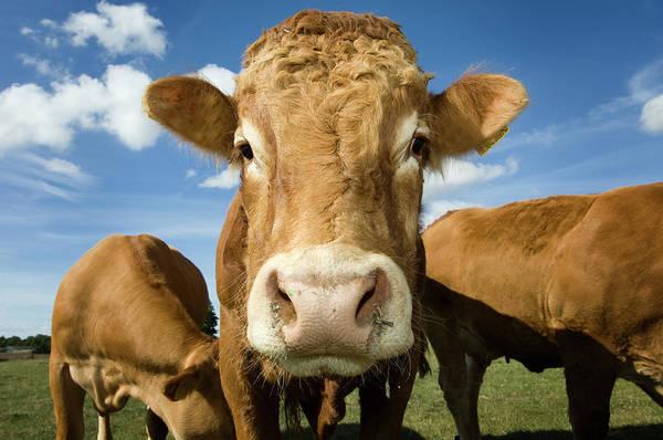 Cow Photograph - Limousin Bull by Clarkandcompany