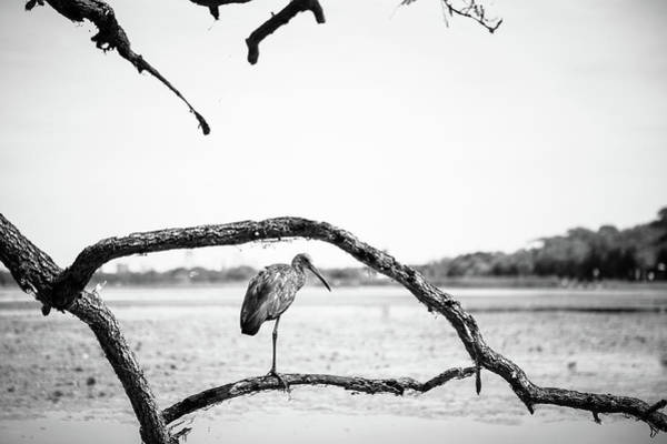 Photograph - Limpkin by Joe Leone