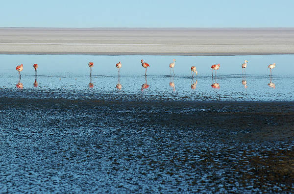 Photograph - Line Of Flamingos With Reflections by Photography By Jessie Reeder