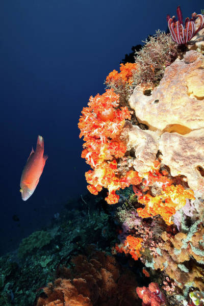 Feather Stars Photograph - Linedcheeked Wrasse And Orange Soft by Ifish