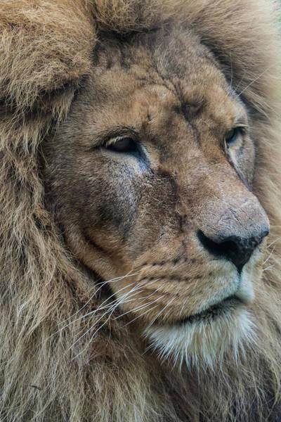 Photograph - Lion by Anjo Ten Kate