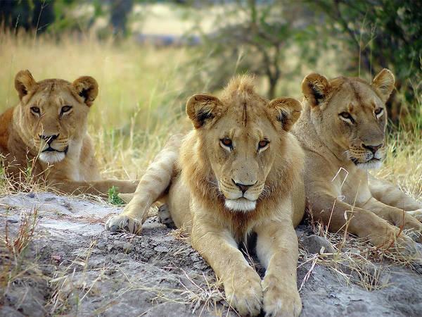 Wall Art - Photograph - Lion Around by Pjmalsbury