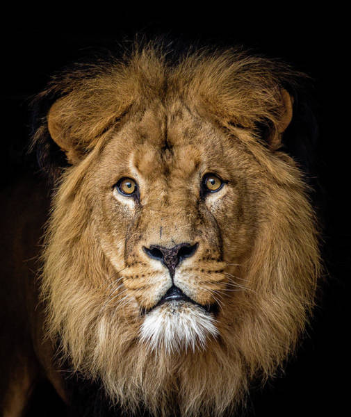 Big Cat Wall Art - Photograph - Lion by Bas Vermolen