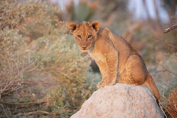 Photograph - Lion Cub On Termite Hill by John Rodrigues
