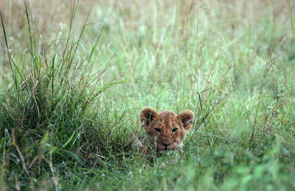 Hiding Photograph - Lion Cub Panthera Leo Lying In The Long by Thomas Dressler