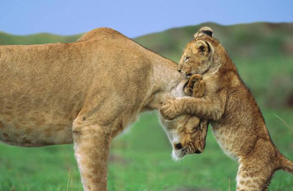 Wall Art - Photograph - Lion Cub Panthera Leo Playing With by Eastcott Momatiuk
