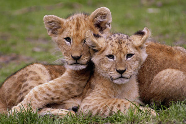 Photograph - Lion Cubs by Eye to Eye Xperience