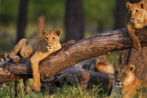 Three Trees Photograph - Lion Cubs Playing On A Fallen Tree by Anup Shah