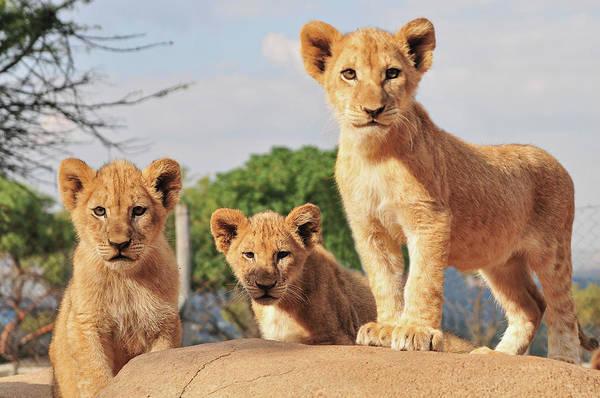 Johannesburg Wall Art - Photograph - Lion Cubs by Walter Stein