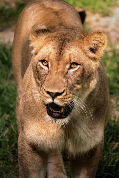 Photograph - Lion Female by Don Johnson