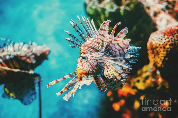 Sealife Wall Art - Photograph - Lion Fish Hunting Among Coral Reefs by Nine tomorrows