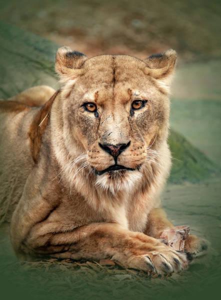 Photograph - Lion by Gouzel -