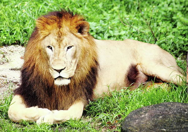 In The Grass Photograph - Lion by Grass-lifeisgood