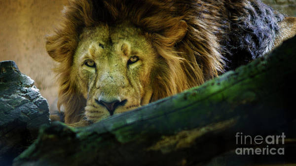 Photograph - Lion Head Looking At Camera by Pablo Avanzini