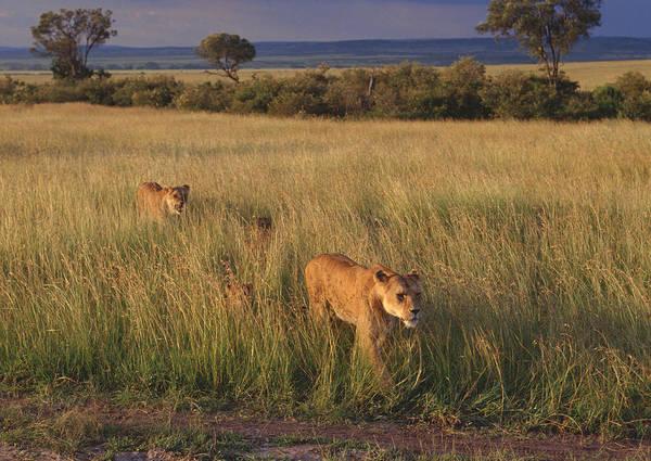 Savannah Photograph - Lion by Imagenavi